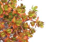Money tree crassula plant in pot over white Royalty Free Stock Image