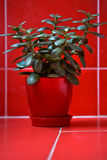 Money tree (crassula) in red flowerpot on red background. Green plant in red vase on red tile textured background Royalty Free Stock Photo