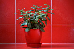 Money tree (crassula) in red flowerpot on red background. Green plant in red vase on red tile textured background Royalty Free Stock Photos