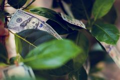 Money tree with dollar bills growing on leaves. Money concept royalty free stock image