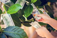 Money tree with dollar bills growing on leaves. hand collect mon royalty free stock photography