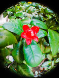 Money tree fortune plant red flower Royalty Free Stock Images