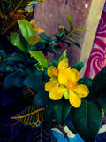 Money tree fortune plant yellow flowers Royalty Free Stock Images
