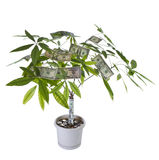 Money Tree in full Bloom Stock Photography
