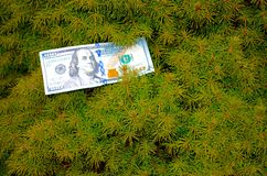 Money Doesn't Grow on Trees. Money growing on trees, a hundred-dollar bill in an evergreen tree, $100 Stock Photo