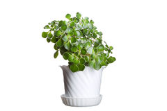 Free Money Tree In Flowerpot Isolated On White Stock Photography - 27471082