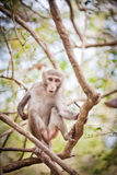 Money on the tree. The macaques constitute a genus (Macaca) of Old World monkeys of the subfamily Cercopithecinae. The twenty-two species of macaques are Royalty Free Stock Photography