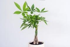 Free Money Tree Plant; Pachira Aquatica Stock Photography - 221285532