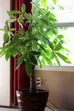 Money Tree Plant. A money tree plant, Pachira aquatica, house plant getting light by the window Stock Photos