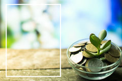 Money Tree on a spring background on wooden Royalty Free Stock Photo