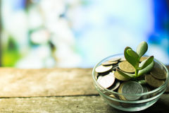 Money Tree on a spring background on wooden Stock Photos