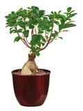 Money tree in vase isolated on white background. Stock Image