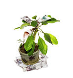 Money tree on a white background. Decorative tree with cash notes on branches Royalty Free Stock Image
