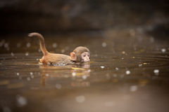 Money in the water. The macaques constitute a genus (Macaca) of Old World monkeys of the subfamily Cercopithecinae. The twenty-two species of macaques are Royalty Free Stock Images
