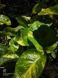 Moneyplant, night click,love , Green plants ,love plant stock photography