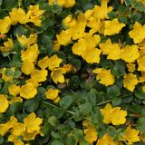 Moneywort Flower Bed Stock Photography