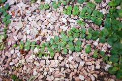 Moneywort, Lysimachia nummularia, Goldilocks plants in garden Stock Photo