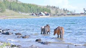 Mongólia, lago Hovsgol, grupo do Mongolian dos cavalos que estão na água Fotografia de Stock Royalty Free