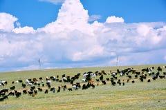Mongólia, um grande rebanho dos iaques que pastam no estepe no fundo do céu azul e das nuvens de cúmulo em agosto de 2017 Fotos de Stock Royalty Free