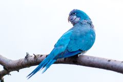 Monge azul Parakeet Imagem de Stock Royalty Free