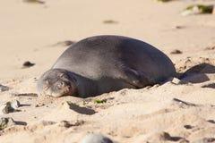 Monge havaiana Seal Foto de Stock