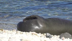 Monge havaiana Seal na ilha de Oahu em Havaí video estoque