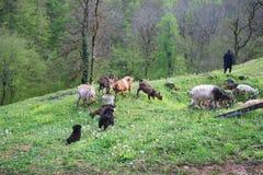 Monge ortodoxo e cabra de Chriastian na grama e nos dentes-de-le?o no p?tio do monast?rio de Djurdjevica Tara fotografia de stock