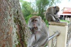 Mongkey de rire Images libres de droits