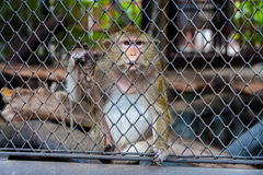 Mongkey in een dierentuin Stock Afbeelding