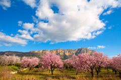 Mongo in Denia Javea in spring with almond tree flowers Royalty Free Stock Photo