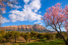 Mongo in Denia Javea in spring with almond tree flowers. Alicante Spain Royalty Free Stock Image