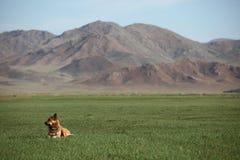 Mongoła Pies Zdjęcia Royalty Free