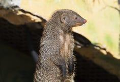 mongoes Stock Afbeelding