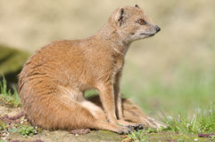 Mongoes royalty-vrije stock afbeelding