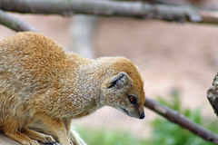 Mongoes Royalty-vrije Stock Afbeeldingen