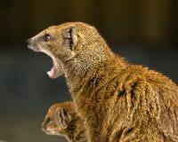 Mongoes en baby stock afbeelding