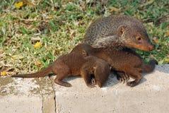 Mongoes met welpen, Oeganda stock afbeelding
