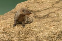 Mongoes op rotsen in zonnige dag royalty-vrije stock afbeelding