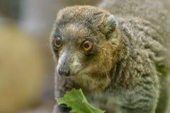 Mongoesmaki, Eulemur mongoz, een kleine primaat, inwoner aan Madagascar en de Eilanden van de Comoren Portret stock fotografie