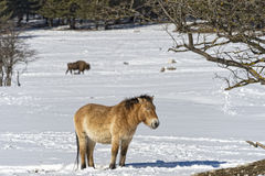 Mongol horse on snow. Mongol wild horse on snow background stock image