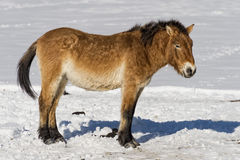 Mongol horse on snow. Mongol wild horse on snow background stock images