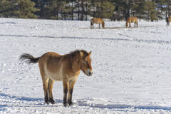 Mongol horse on snow. Mongol wild horse on snow background royalty free stock image