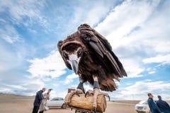MONGOLEI - 17. Mai 2015: Besonders ausgebildeter Adler für die Jagd in der mongolischen Wüste nahe Ulaan-Baator Lizenzfreies Stockbild