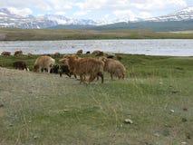 Mongolei-Schafe - traditioneller Lebensstil und Landschaft in West-Mongolei Stockfoto