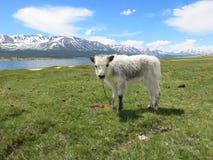 Mongolei-Schafe - traditioneller Lebensstil und Landschaft in West-Mongolei Lizenzfreies Stockbild