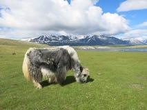Mongolei-Schafe - traditioneller Lebensstil und Landschaft in West-Mongolei Lizenzfreie Stockfotos