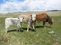 Mongolei-Schafe - traditioneller Lebensstil und Landschaft in West-Mongolei Stockbild