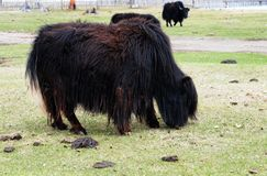 Mongolia – yak Royalty Free Stock Photos
