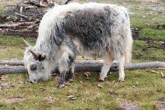 Mongolia – yak Stock Photography