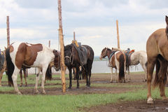 Mongolia Asia horses nature beautiful camile Stock Photography